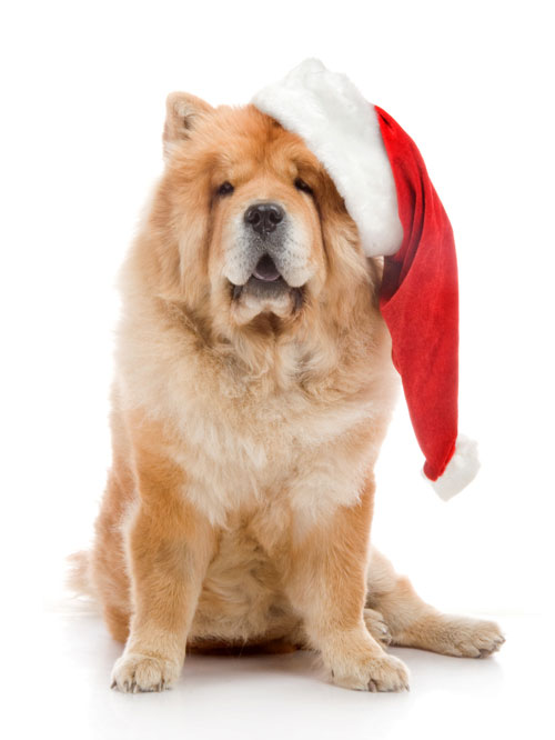 chow-chow-dog-red-santa-clause-hat